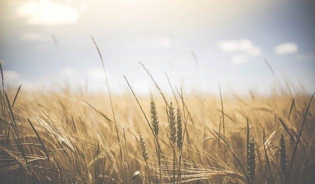 pšeničné pole